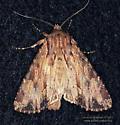 Noctuidae ? - Apamea lignicolora
