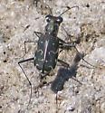 dark tiger beetle - Cicindela trifasciata