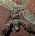 Abbott's Sphinx - Sphecodina abbottii