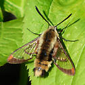 large bee-like insect - Hemaris