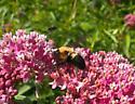 Unidentified Bumble Bee - Bombus griseocollis