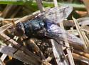 Stout blue fly - Cynomya cadaverina