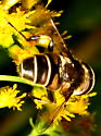 Syrphid Fly - Black & White - Eristalis dimidiata - male