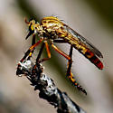 Gold and red Robber Fly