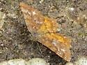 Cranberry Spanworm - Ematurga amitaria