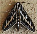 White Lined Sphinx - Hyles lineata - Hyles lineata