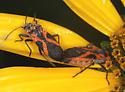 False Milkweed Bugs - Lygaeus turcicus - male - female