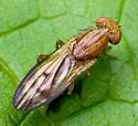 Fly - Opomyza petrei
