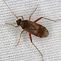 Plant Bug 1736 - Pinalitus rubricatus