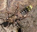 unknown larva - Ontholestes cingulatus
