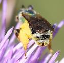Metallic Green Bees (Agapostemon)  - Agapostemon - male