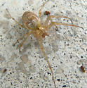 autumn spider - Metellina segmentata - female