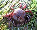 Southern Kelp Crab - Taliepus nuttallii