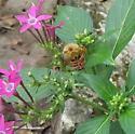 Eriophora sp.? - Poecilopompilus algidus