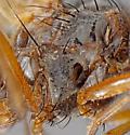 battered and bruised muscid - Mydaea flavicornis - female