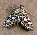 Nymphula Moth - Elophila ekthlipsis