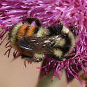 Larger - Bombus bifarius