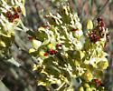 Blood-colored Milkweed Bug - Oncopeltus sanguineolentus