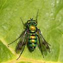small blue green orange metallic fly - Condylostylus occidentalis