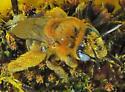 Melissodes sp. - Melissodes - female