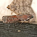 Black-spotted Leafroller - Sciota virgatella