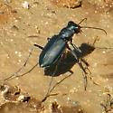 Cicindela nigrocoerulea - Cicindelidia nigrocoerulea