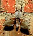 Moth #2  - Amorpha juglandis