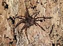 Unknown Brown Fuzzy Spider - Dolomedes