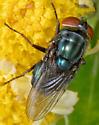 Cochliomyia macellaria - female
