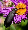 All-black blister beetle - Epicauta
