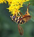 Syrphid - Milesia virginiensis