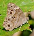Northern Pearly Eye (Enodia anthedon) ???  NO - Southern Pearly Eye (Lethe portlandia) - Lethe creola