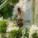 a wasp - Philanthus gibbosus - male