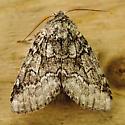 Moth-3 - Lochmaeus bilineata