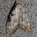 Moth 212 - Nola triquetrana