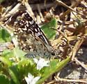 unknown butterfly - Pyrgus oileus