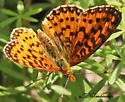 Small orange/brown/white butterfly - Boloria selene