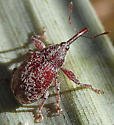 Red Weevil