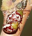 Sumac Flea Beetle - Blepharida rhois - male - female