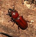 Cerambycidae - Neandra brunnea