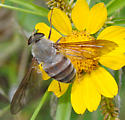 Large bombyliide-like fly  - Esenbeckia