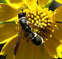 wasp - Cephalodynerus - male