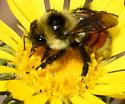 Bumblebee (Tricolored?) - Bombus rufocinctus