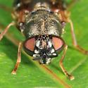 Odontomyia pubescens? - Odontomyia pubescens - female