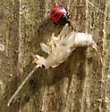 Predatory Stink Bug w/ Earwig Prey
