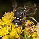 Wasp IMG_3610 - Eumenes crucifera - female