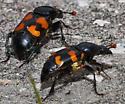 Carion Beetle - Nicrophorus