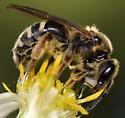 sweat bee - Lasioglossum coriaceum - female