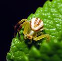 Goldenrod Crab Spider - Misumena vatia - male