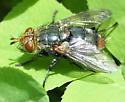 Spiney fly 2 - Peleteria haemorrhoa